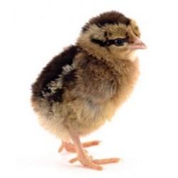 Day old Boschvelder chick